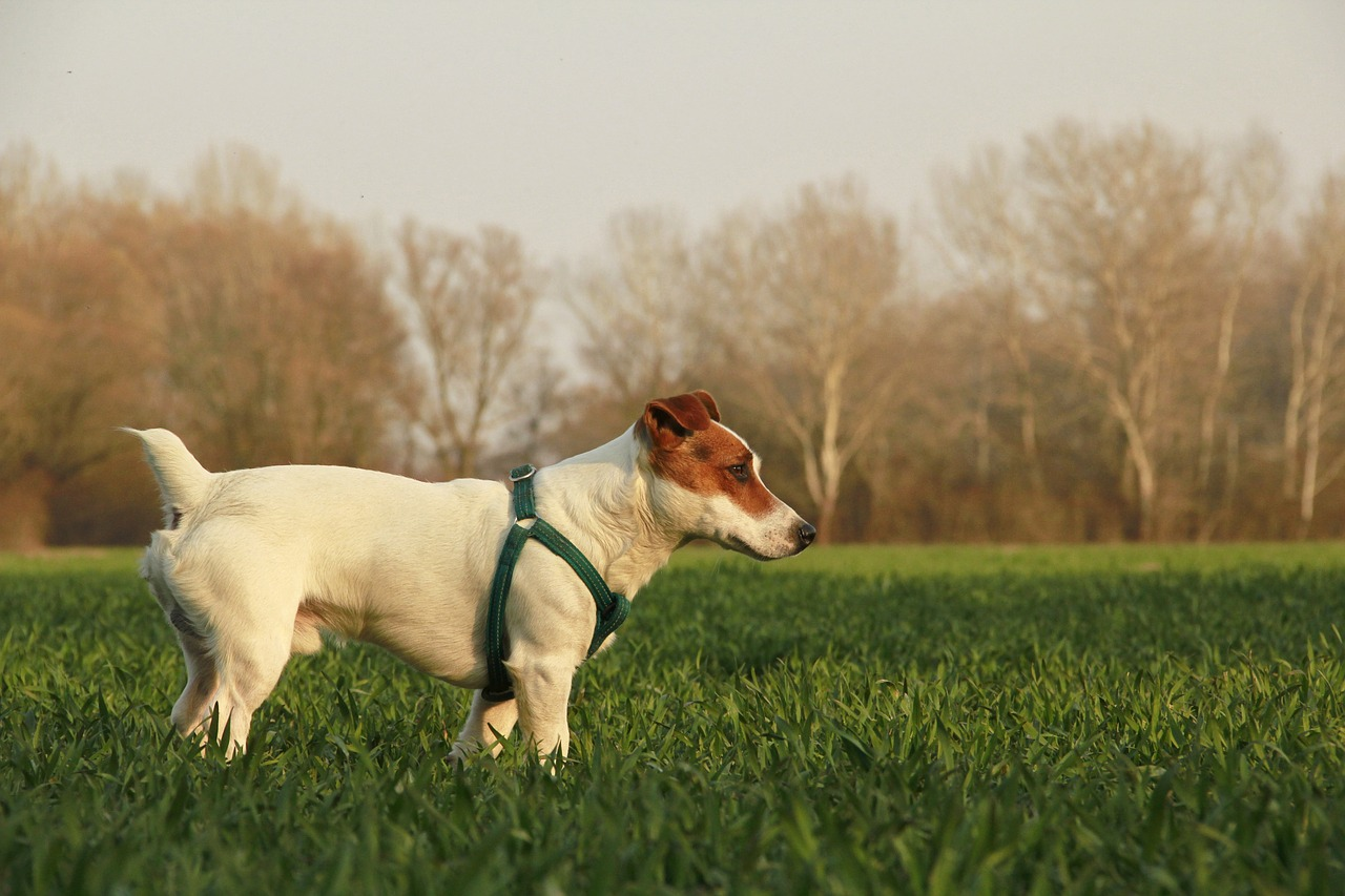 Jack Russell Terrier in Riverdale Park; shows green-spaces.