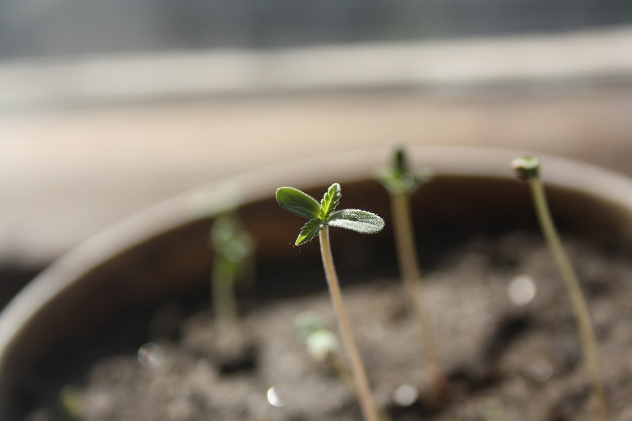 Cannabis seedlings in a flower pot