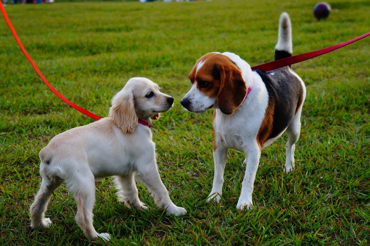 Two small dogs with red leashes at dog park.